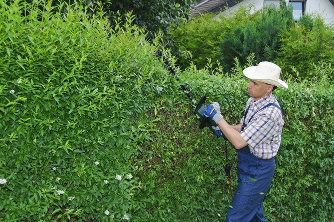 regular hedge cutting