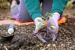 Stevenage roses planting and care SG1