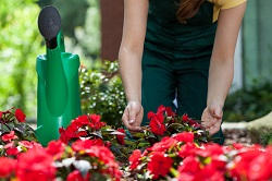 Walton on Thames bedding plants care KT12